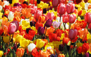 colored_tulips