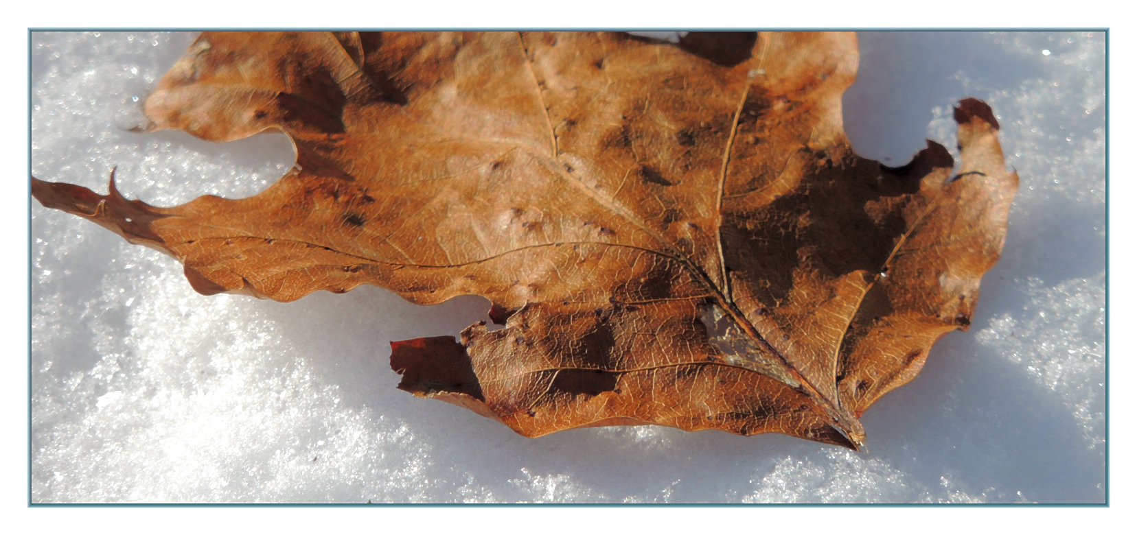leaf_on_snow